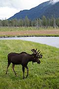 A moose at the Alaska Wildlife Conservation Center, Portage, Alaska, USA<br /> <br /> Photographer: Christina Sjogren<br /> <br /> Copyright 2018, All Rights Reserved