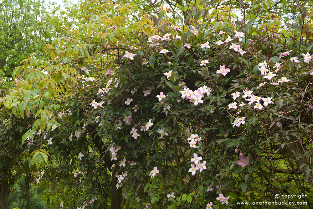 Clematis montana growing on the pergola