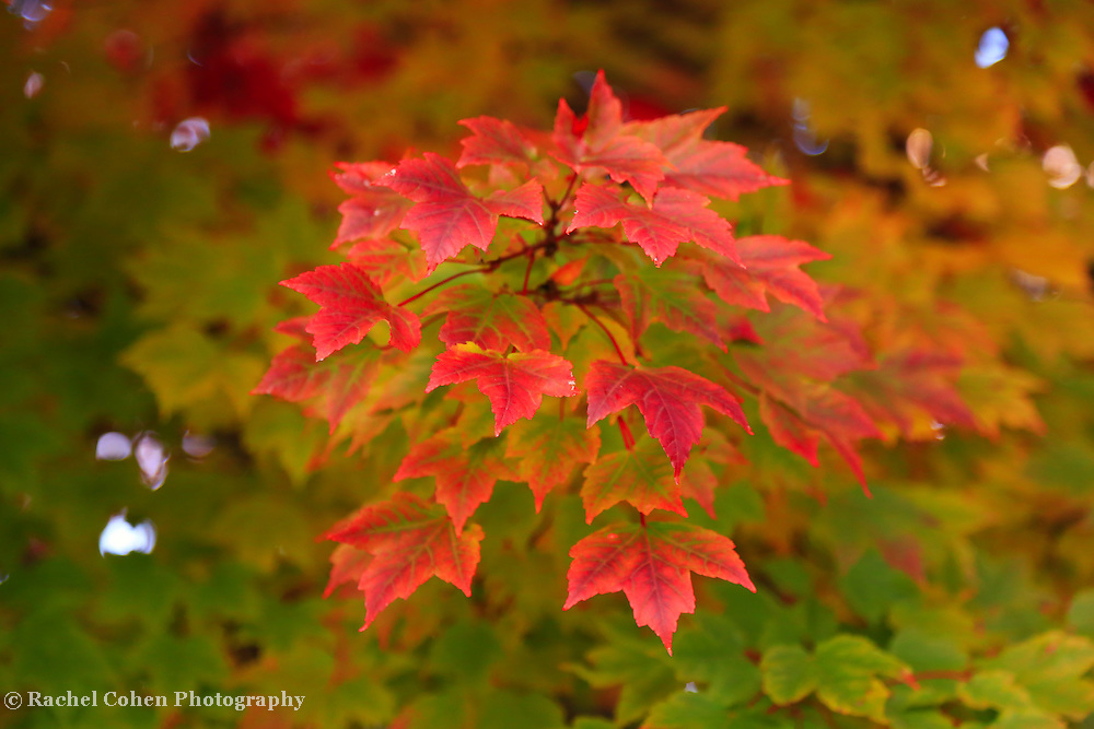 &quot;Peaking Desire&quot;<br /> <br /> Lovely red Maple leaves in the front of the tree, leave you with the desire for more!!<br /> <br /> Fall Foliage by Rachel Cohen