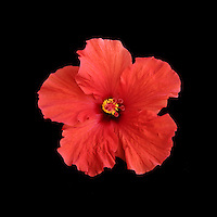 red hibiscus flower on black background.<br /> <br /> &copy; Darrell Miho
