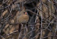Northern Cardinal, Cardinalis cardinalis, female perched in vines