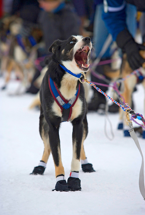 USA, Alaska, Willow, Sled dogs barking in harness while waiting for start of 2005 Iditarod sled dog race.