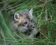Red fox kit, 6 weeks old,  with small pine,  [captive, controlled conditions] © 1999 David A. Ponton