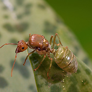 Weaver Ant Queen, Oecophylla smaragdina. Oecophylla smaragdina (common names include weaver ant, green ant, green tree ant, and orange gaster) is a species of arboreal ant.