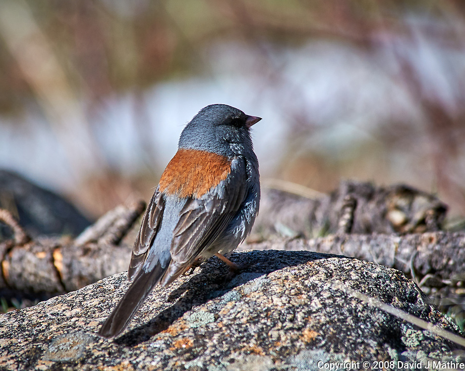 Early springtime Gray-headed Junco in Rocky Mountain National Park.Image taken with a Nikon D300 camera and 80-400 mm VR lens (ISO 200, 400 mm, f/8, 1/640 sec).