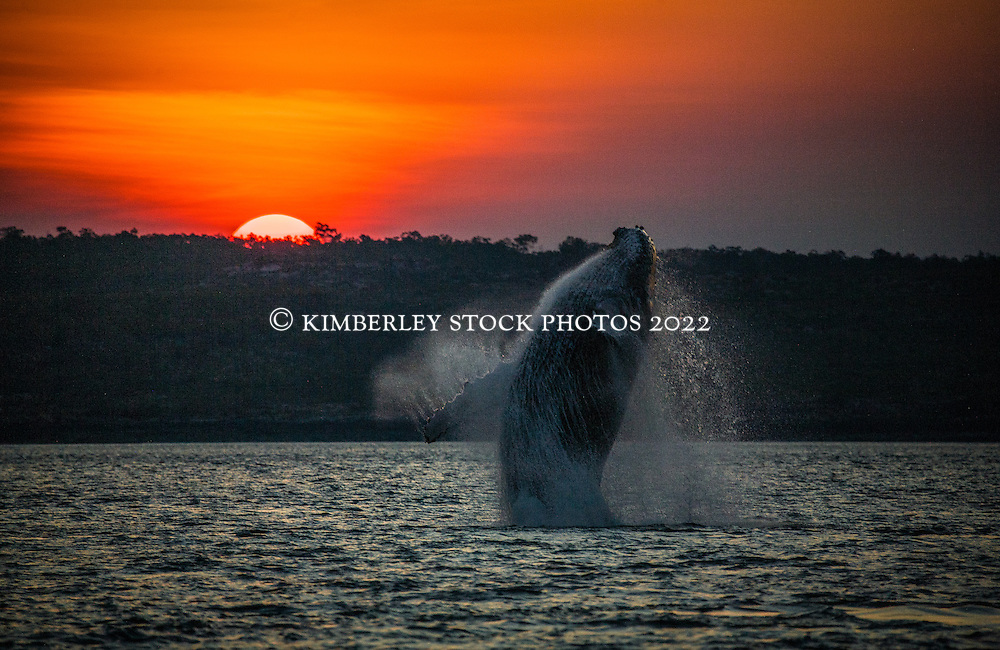 A female humpback whale breaches in a channel near Augustus Island in Camden Sound. The calf had breached seconds beforehand and the footprint was still visible.