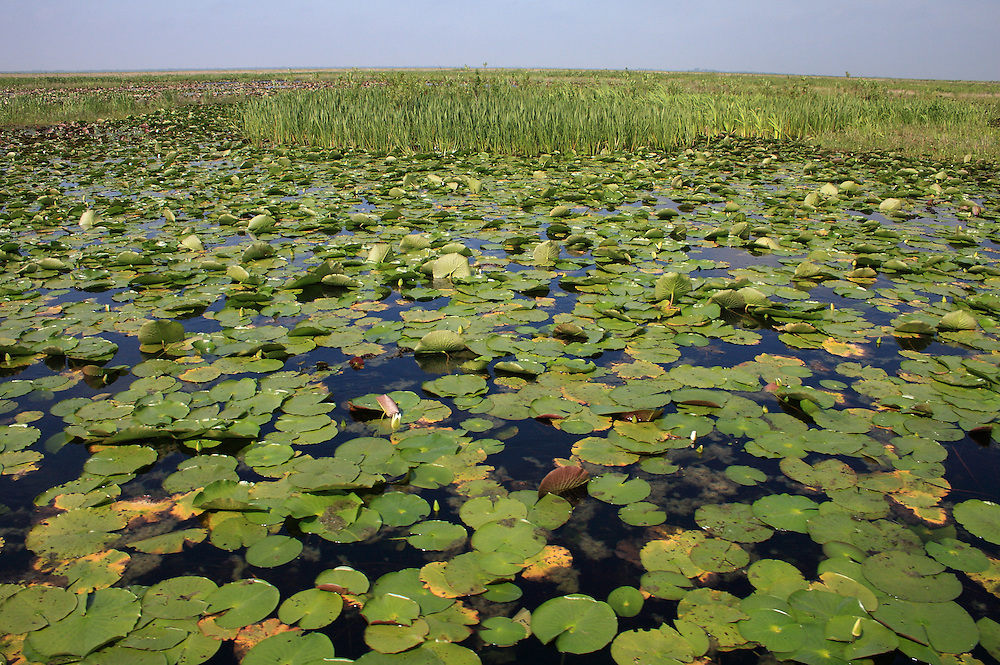 Water Lilies (wide), White Lake Wetlands Conservation Area
