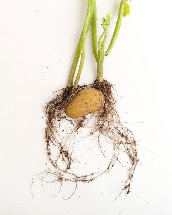 Vegetative reproduction, potato tuber