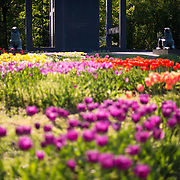 Colorful tulips in bloom in a garden at the Netherlands Carillon next to Arlington National Cemetery and the Iwo Jima Memorial. First donated in 1954, the Carillon was moved to its current location in 1960. It was a gift of the Netherlands to the United States in thanks for US aid during World War II.