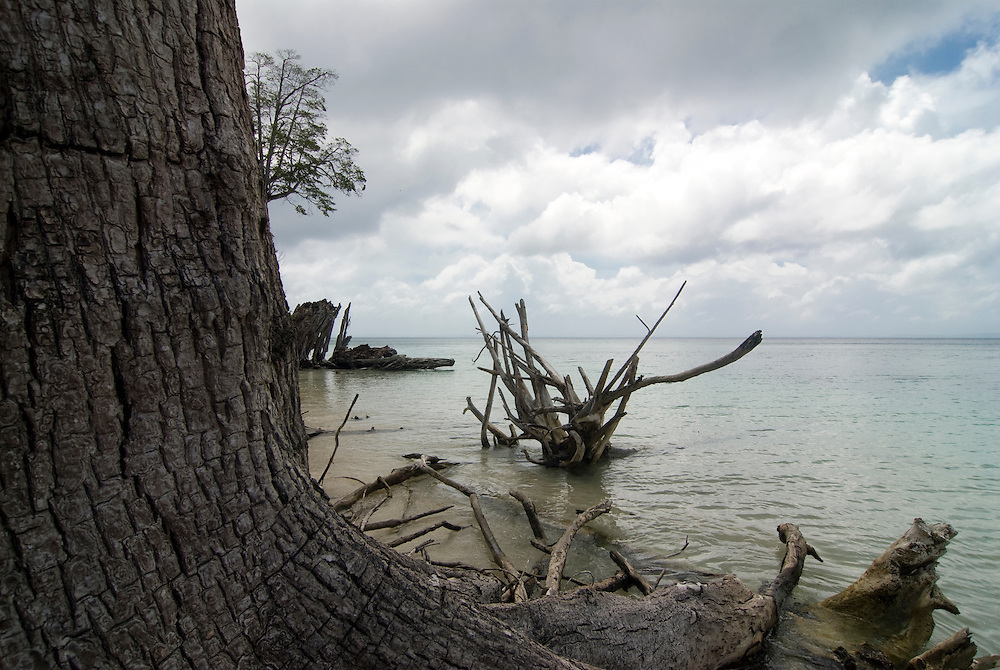Trunk and Roots of trees in the Indian Ocean. Havelock Island. Andaman Isles. India.