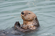sea otter, Enhydra lutris ( Endangered Species ), feeding on mussels, Valdez, Alaska ( Prince William Sound )