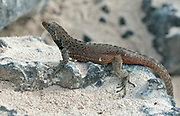 Lava Lizard (Microlophus delanonis) from Espanóla, Galapagos. Adult male.