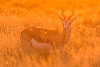 A springbok in sunset backlight, Etosha National Park, Namibia.