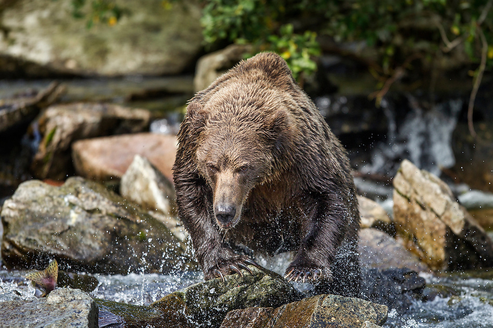 USA, Alaska, Katmai National Park, Coastal Brown Bear (Ursus arctos) runs after spawning salmon in stream along Kuliak Bay