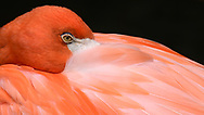Portrait of an American Flamingo