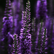 """""""Midnight Purple"""" <br /> <br /> Deep and mysterious is the mood of these beautiful purple Veronica!"""