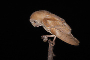 Barn owls (Tyto alba) feeding on a mouse. this owl was raised in a coop provided on a farm in Israel. The barn owl is used by Israeli farmers as a natural pest control. Barn owls are one of the most economically valuable wildlife animals to farmers. Farmers often find these owls more effective than poison in keeping down rodent pests, and they can encourage barn owl habitation by providing nest sites