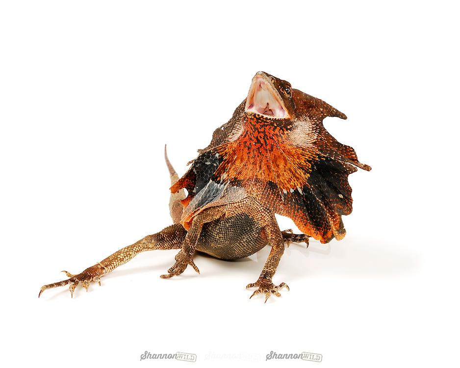 Frilled Lizard (Chlamydosaurus kingii) also known as the Frilled Neck Dragon is native to Australia.