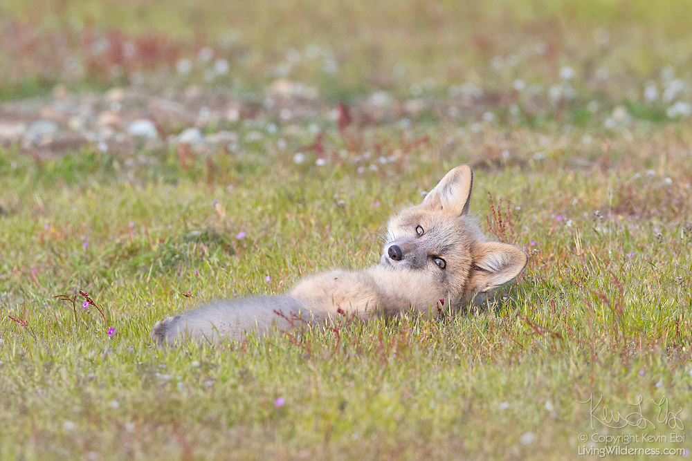 A young red fox (Vulpes vulpes) kit rests in the prairie of the San Juan Island National Historical Park on San Juan Island, Washington. Red foxes, which can actually appear in a variety of colors, were introduced to San Juan Island on various occasions in the 1900s.