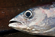 Albacore Tuna Commercial Fishing Photos - Stock image
