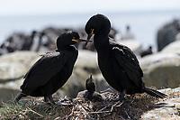 Krähenscharben mit Nest, Farne Islands, England