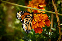 Monarch Butterfly on a Marigold Flower. Autumn Backyard Nature in New Jersey. Image taken with a Nikon 1 V3 camera and 70-300 mm VR telephoto zoom lens (ISO 160, 300 mm, f/5.6, 1/100 sec).