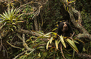 Spectacled or Andean Bear feeding on Bromeliads       ©<br /> Tremarctos ornatus<br /> Cloud Forest and Paramo Habitat<br /> Andes. ECUADOR.  South America<br /> Range: Colombia south to Bolvia<br /> ENDANGERED (CITES 1)