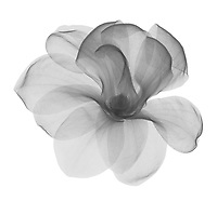 X-ray image of a magnolia flower (Magnolia, black on white) by Jim Wehtje, specialist in x-ray art and design images.