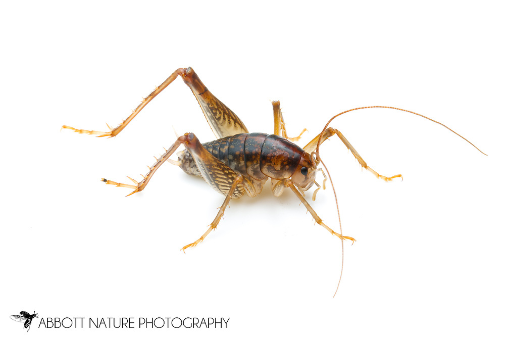 Camel Cricket (Ceuthophilus divergens)<br /> TEXAS: Lamar Co.<br /> Camp Maxey National Guard<br /> Paris<br /> 22-May-2012<br /> J.C. Abbott &amp; K.K. Abbott