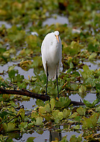Great Egret (Ardea alba) foraging among water hyacinths, an introduced species on Lake Chapala, Jocotopec, Jalisco, Mexico