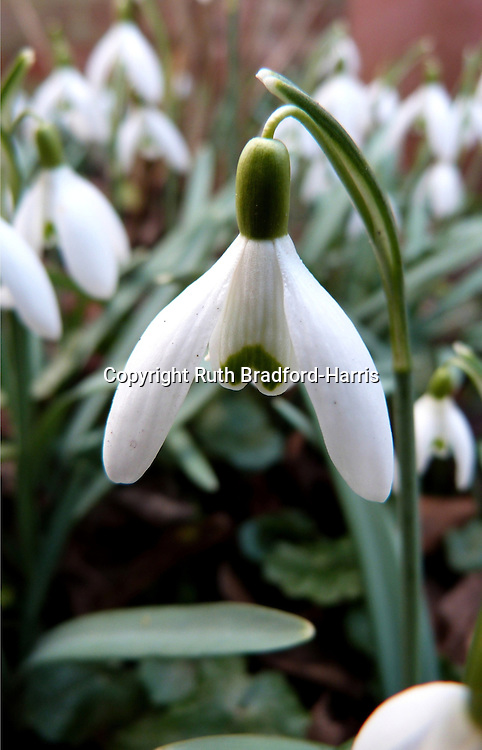 Native snowdrops (Galanthus nivalis) in a British woodland garden. The simple flowers have three pure-white outer petals and beautiful green markings to the tips of the inner petals which are seen in close-up to have vertical 'pleats'.<br />