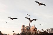 Paris, Parigi, Francia, France, 2009. Gabbiani a Notre Dame. Seagulls a Notre Dame.