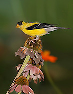 A Small Yellow Bird, The American Goldfinch, Carduelis tristis, Dining On Cone Flower Seeds