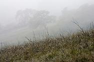 A California Oak in the fog on a California coastal hillside