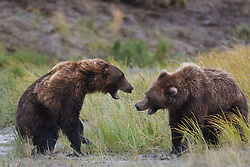 Two North American brown bear /  coastal grizzly bear (Ursus arctos horribilis) sows fight for fishing territory in a grassy field, Lake Clark National Park, Alaska, United States of America