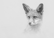 Young fox cub photographed in black and white