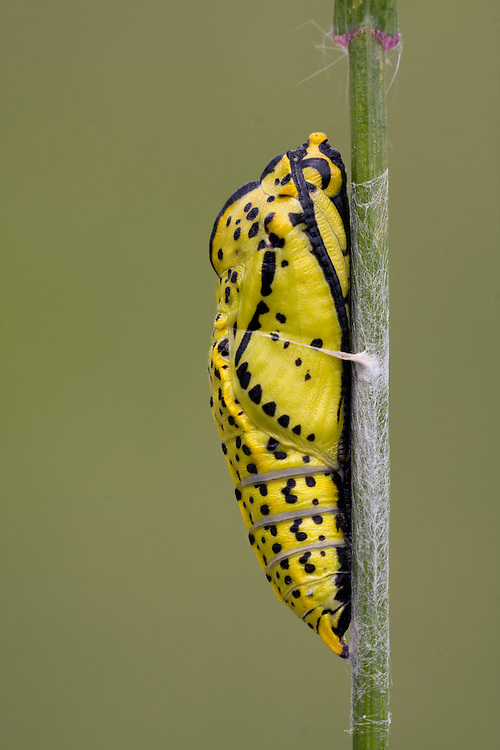A yellow butterfly, caterpillar coccon sticked against a flower stalk. The cocoon is yellow with black dots and stripes