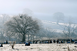 © Licensed to London News Pictures. 05/01/2017. Builth Wells, Powys, Wales, UK. Sheep graze in a frosty early morning landscape in Powys, Mid Wales, UK after temperatures dropped to minus 4 degrees centigrade last night. Photo credit: Graham M. Lawrence/LNP