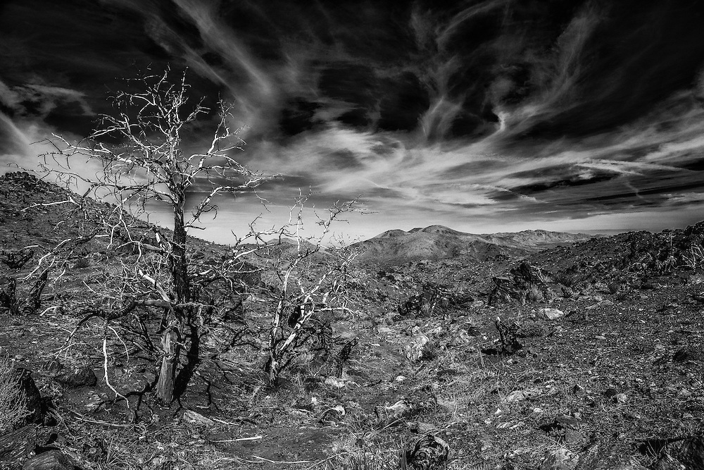 A burned tree located in the Joshua Tree National Park, CA.