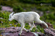 Mountain Goat Kid in Glacier National Park, Montana, USA