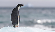Adelie Penguin (Pygoscelis adeliae) at Brown Bluff, the Antarctic Sound on the northern tip of the Antarctic Peninsula