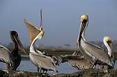 Wildlife: Pelican