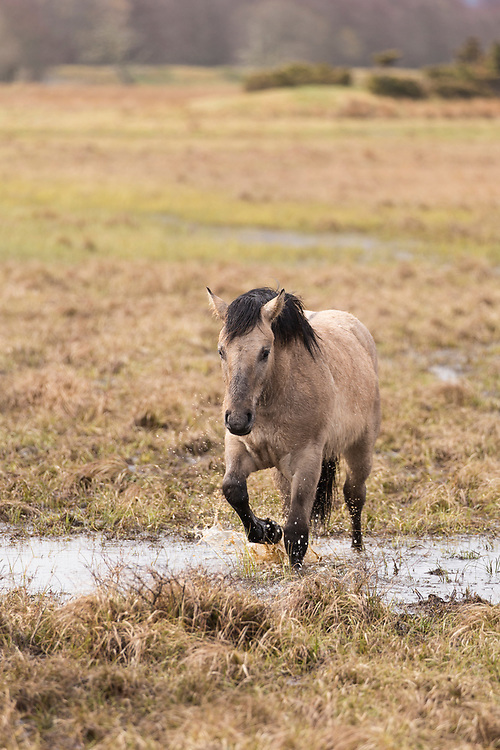 Highland pony used to graze wetland habitat as part of management plan for bird conservation, Strathspey, Scotland