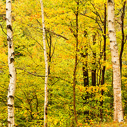 Paper birch trees in New Hampshire's Crawford Notch State Park. White Mountains.