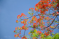 Royal poinciana, flame tree, Thailand.