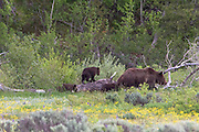 Grizzly Bear #399 walking with her young Cubs in Grand Teton National Park