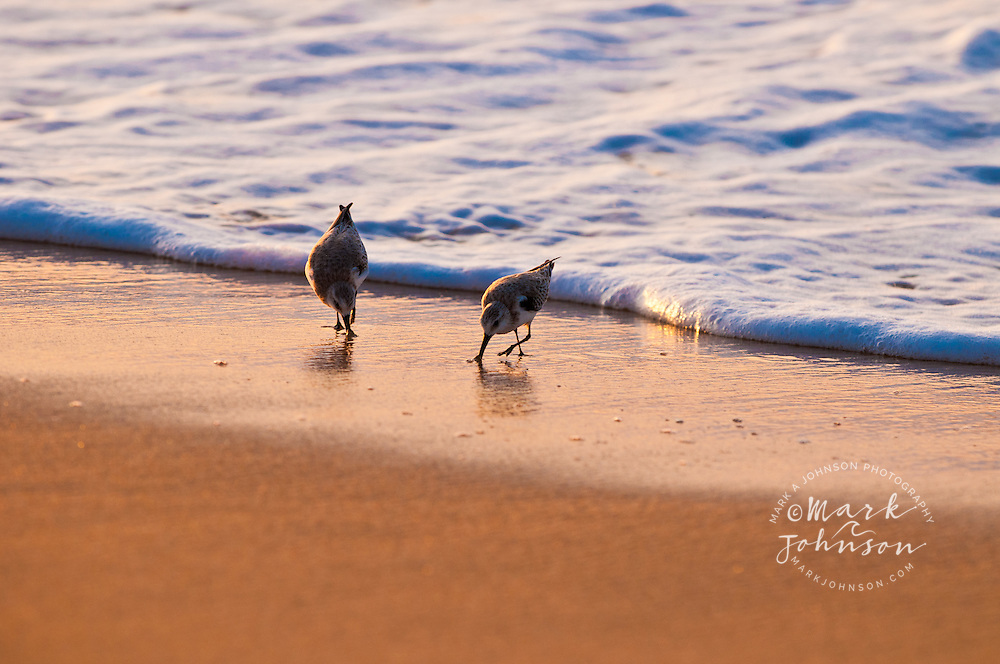 "Seabirds, aka Sanderlings-""Hunakai"" in the Hawaiian language (Calidris alba), Polihale Beach, Kauai, Hawaii"