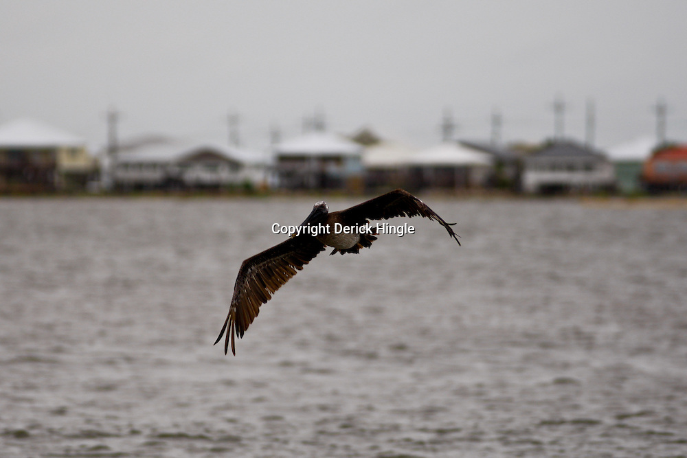 A Brown Pelican is seen near the Brideside Marina in Grand Isle, Louisiana, U.S., on Wednesday, June 30, 2010.The Brown Pelican the state bird for Louisiana has been severely impacted by the gulf oil spill, many oiled pelicans have been picked up by wild life organizations, but many more remain in Louisiana waters polluted by oil. Photographer: Derick E. Hingle