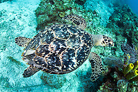 Hawksbill Turtle from above<br /> <br /> Shot in Cayman Islands