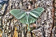 Luna Moth on pine tree